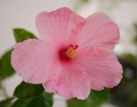 Hawaii pink