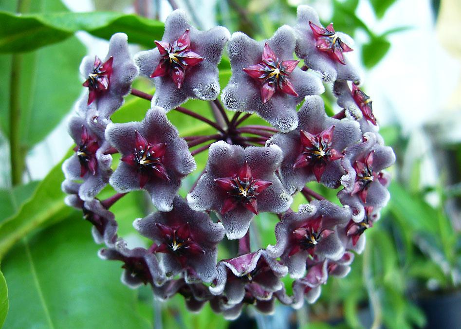 10 - 12 inches plant of Hoya pubicalyx dark red